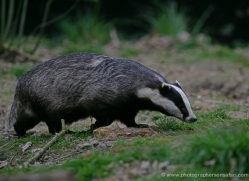 badger-210-kent-wildwood-copyright-photographers-on-safari-com
