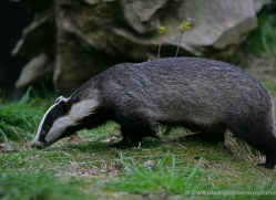 badger-211-kent-wildwood-copyright-photographers-on-safari-com