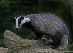 badger-212-kent-wildwood-copyright-photographers-on-safari-com