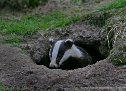 badger-214-kent-wildwood-copyright-photographers-on-safari-com