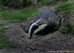 badger-215-kent-wildwood-copyright-photographers-on-safari-com