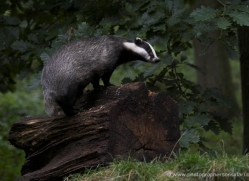 badger-219-kent-wildwood-copyright-photographers-on-safari-com