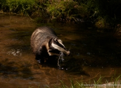 badger-220-kent-wildwood-copyright-photographers-on-safari-com