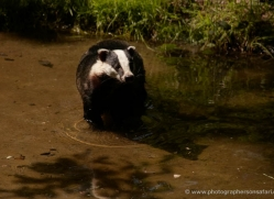 badger-221-kent-wildwood-copyright-photographers-on-safari-com