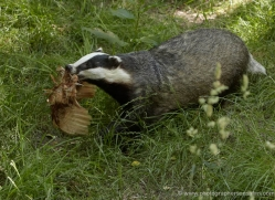 badger-222-kent-wildwood-copyright-photographers-on-safari-com