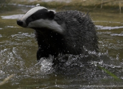 badger-224-kent-wildwood-copyright-photographers-on-safari-com