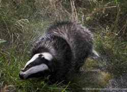 badger-225-kent-wildwood-copyright-photographers-on-safari-com