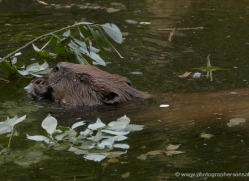 european-beaver239-kent-wildwood-copyright-photographers-on-safari-com