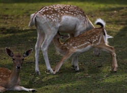 fallow-deer240-kent-wildwood-copyright-photographers-on-safari-com