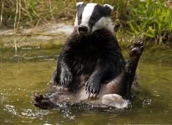 badger-197-kent-wildwood-copyright-photographers-on-safari-com