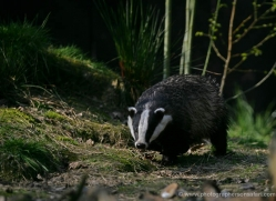 badger-200-kent-wildwood-copyright-photographers-on-safari-com