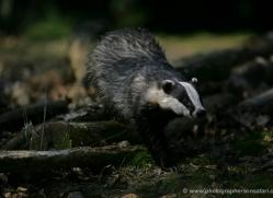 badger-201-kent-wildwood-copyright-photographers-on-safari-com