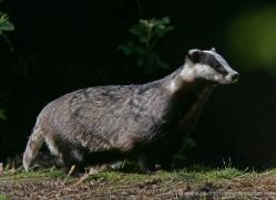 badger-202-kent-wildwood-copyright-photographers-on-safari-com