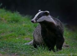 badger-206-kent-wildwood-copyright-photographers-on-safari-com
