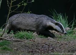 badger-207-kent-wildwood-copyright-photographers-on-safari-com