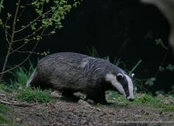 badger-208-kent-wildwood-copyright-photographers-on-safari-com