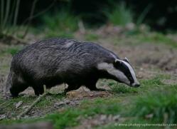 badger-210-kent-wildwood-copyright-photographers-on-safari-com