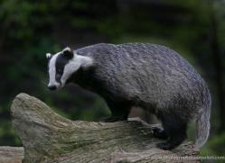 badger-212-kent-wildwood-copyright-photographers-on-safari-com
