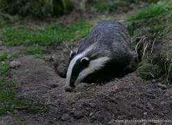badger-215-kent-wildwood-copyright-photographers-on-safari-com