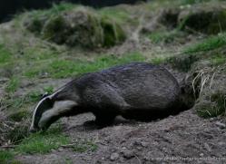 badger-216-kent-wildwood-copyright-photographers-on-safari-com