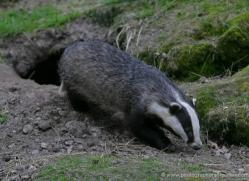 badger-217-kent-wildwood-copyright-photographers-on-safari-com