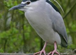 black-crowned-night-heron233-kent-wildwood-copyright-photographers-on-safari-com