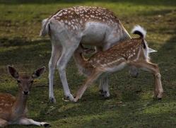 fallow-deer240-kent-wildwood-copyright-photographers-on-safari-com