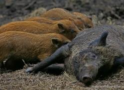 wild-boar232-kent-wildwood-copyright-photographers-on-safari-com