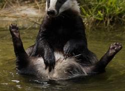 badger-198-kent-wildwood-copyright-photographers-on-safari-com