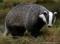 badger-199-kent-wildwood-copyright-photographers-on-safari-com