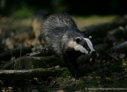 badger-201-kent-wildwood-copyright-photographers-on-safari-com