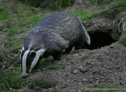 badger-213-kent-wildwood-copyright-photographers-on-safari-com