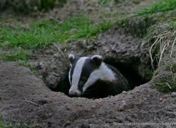 badger-214-kent-wildwood-copyright-photographers-on-safari-com