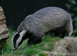 badger-218-kent-wildwood-copyright-photographers-on-safari-com