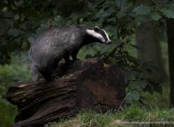 badger-219-kent-wildwood-copyright-photographers-on-safari-com