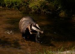badger-220-kent-wildwood-copyright-photographers-on-safari-com
