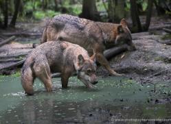 grey-wolf236-kent-wildwood-copyright-photographers-on-safari-com