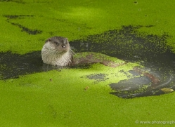 otter242-kent-wildwood-copyright-photographers-on-safari-com