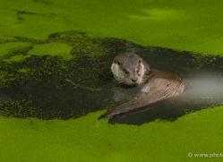 otter243-kent-wildwood-copyright-photographers-on-safari-com