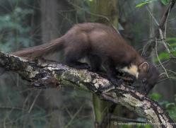 pine-marten241-kent-wildwood-copyright-photographers-on-safari-com