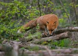 red-fox-228-kent-wildwood-copyright-photographers-on-safari-com