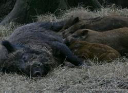 wild-boar231-kent-wildwood-copyright-photographers-on-safari-com