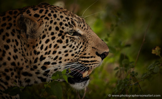 Leopard-Masai-Mara-1601-copyright-photographers-on-safari-com