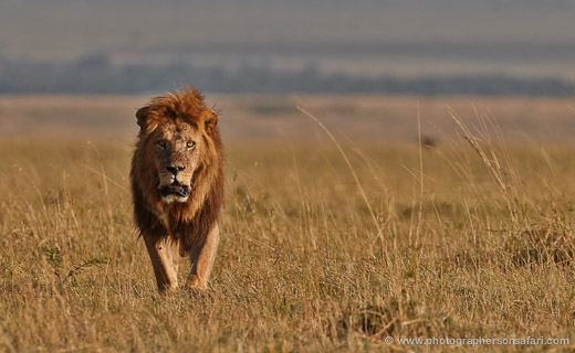 Lion-Masai-Mara-1567-copyright-photographers-on-safari-com