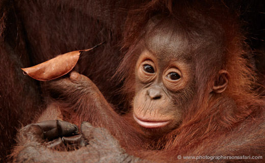 Orangutans in Indonesia – Borneo Photography Tour – Trip Report 2009