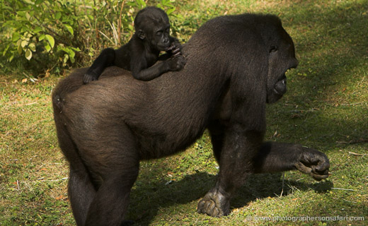 New Baby Gorilla at Port Lympne
