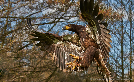 Bald-Eagle-juvenile-586-bedford-copyright-photographers-on-safari-com