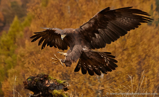 Golden-Eagle-849-scotland-copyright-photographers-on-safari-com