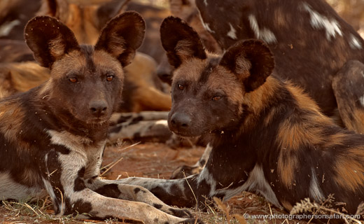 Wild-Dog-Wild-Dogs-2771-copyright-photographers-on-safari-com