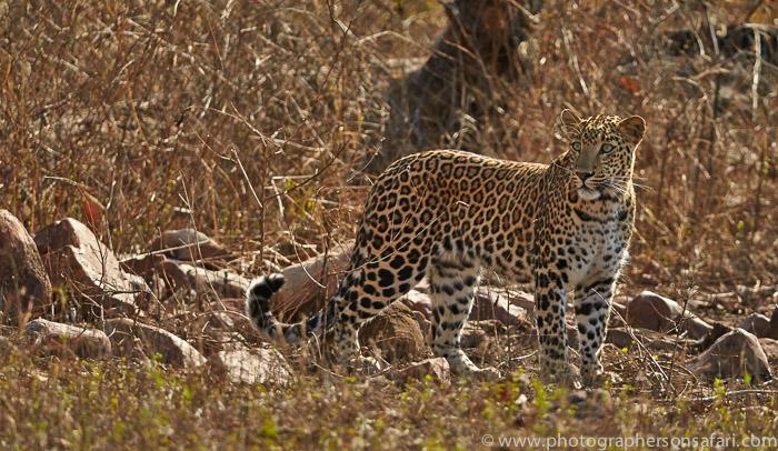 Asian Leopard 2015-5copyright-photographers-on-safari-com